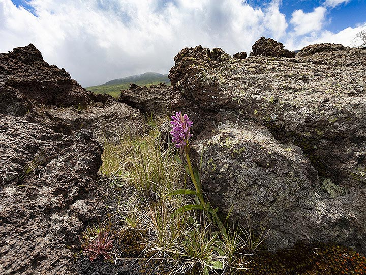 An orchid growing in the lava fields of Etna volcano. (Photo: Tobias Schorr)