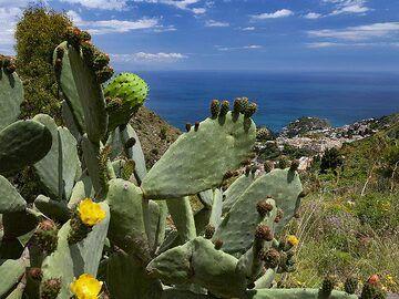 Cactus tree (opuntia) and a view to Taormina. (Photo: Tobias Schorr)