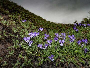 Viola flowers are typical at Etna volcano. (Photo: Tobias Schorr)