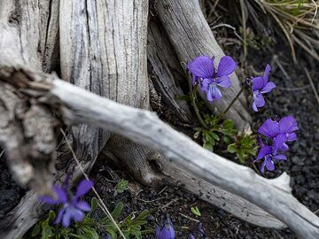 Viola flowers and dead wood. (Photo: Tobias Schorr)