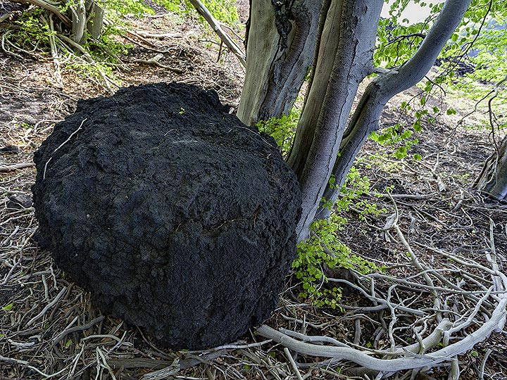 Volcanic bombs in this size can be thrown for a distance of kilometres! (Photo: Tobias Schorr)