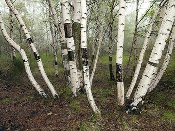 Birch trees in the area around Etna volcano. (Photo: Tobias Schorr)