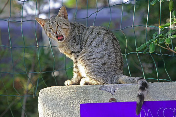 Lazy cat at Vulcano (Photo: Tom Pfeiffer)