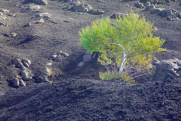 The first tree we encounter, a single birtch growing from the lapilli-covered ground. (Photo: Tom Pfeiffer)