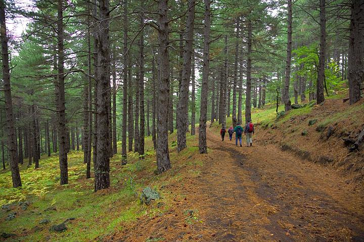 Pine trees (Photo: Tom Pfeiffer)