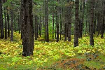 Pine forest with ferns (Photo: Tom Pfeiffer)