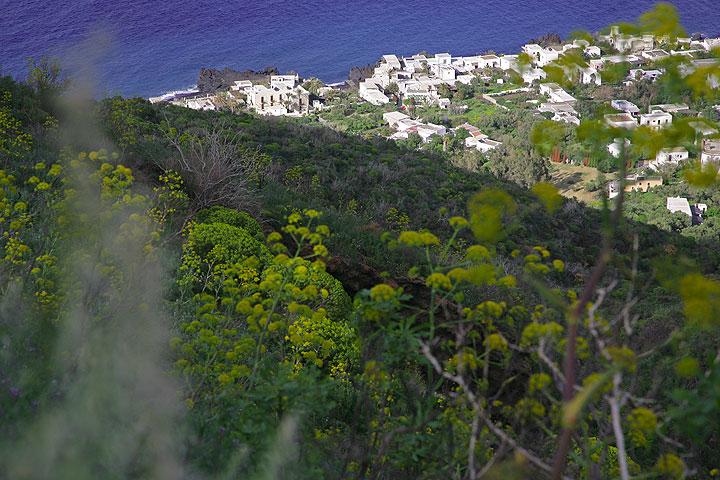Fennel growing on Stromboli.  (Photo: Tom Pfeiffer)