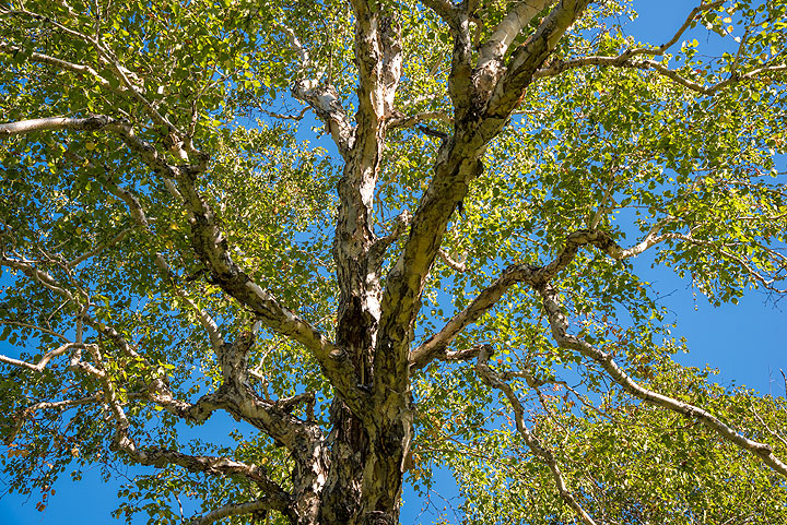 Kamchatka's famous stone birch trees. Their wood is unusually strong and hard, which explains their name. (Photo: Tom Pfeiffer)