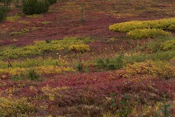 After the forest, we reach the tundra - glowing red and yellow. (Photo: Tom Pfeiffer)