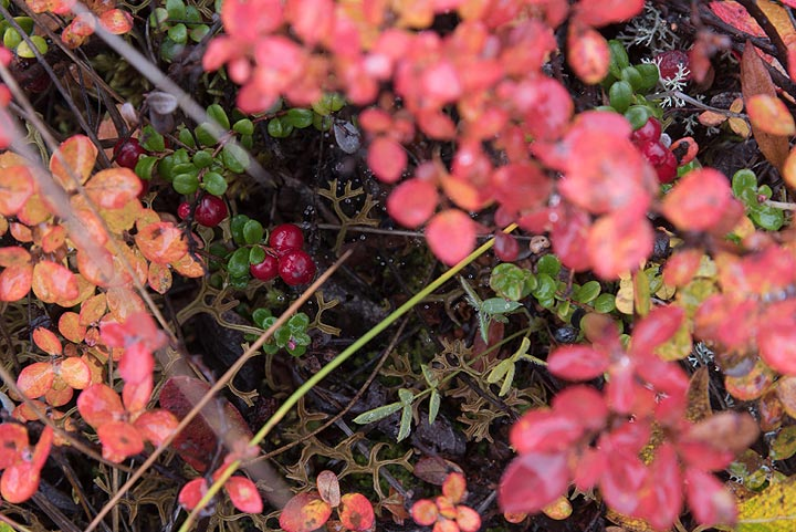The tundra at this time of year is full of berries (cranberries and blueberries)... (Photo: Tom Pfeiffer)