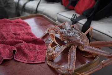 Famous Kamchatka crab. (Photo: Tom Pfeiffer)