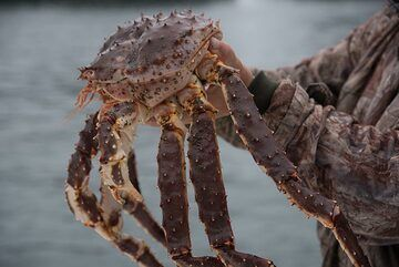 We also catch a large king crab. (Photo: Tom Pfeiffer)