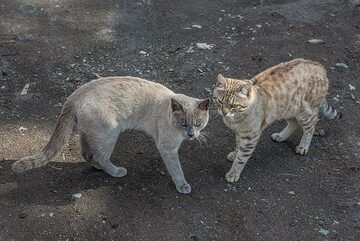 Two Kamchatka cats (Photo: Tom Pfeiffer)
