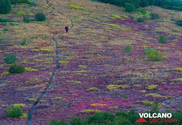 Trail through purple tundra fields (Photo: Tom Pfeiffer)