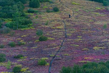 Livio walking through the purple tundra in the morning. (Photo: Tom Pfeiffer)