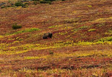 A bear grazes on berries, not giving us any attention whatsoever. (Photo: Tom Pfeiffer)