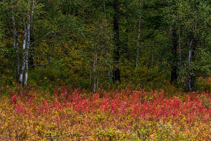 Field of red flowers in the forest (Photo: Tom Pfeiffer)