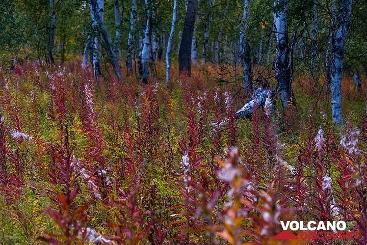 Red forest flowers and birch trees (Photo: Tom Pfeiffer)
