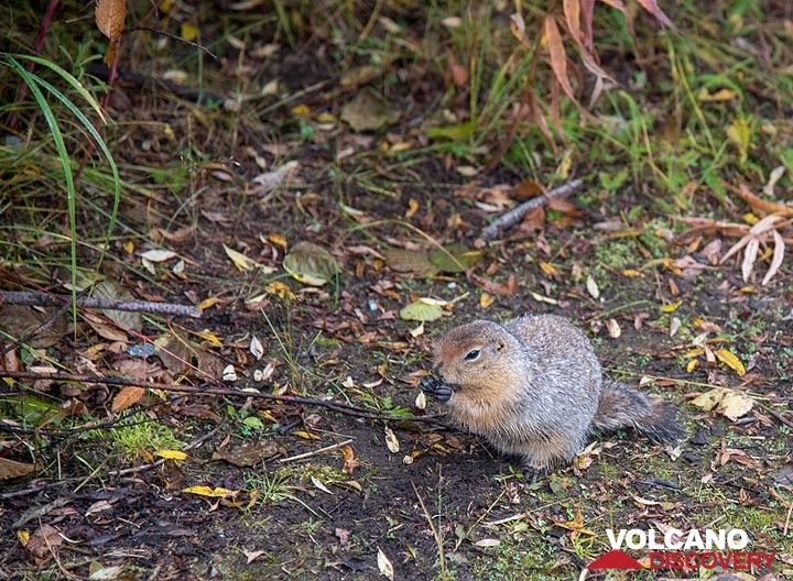 Curious ground squirrels are seen frequently. (Photo: Tom Pfeiffer)