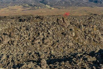 A lone tree on a young 'a'a lava flow from Klyuchevskoy volcano (Photo: Tom Pfeiffer)