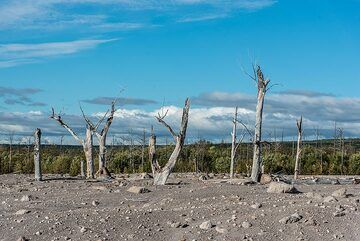 Tree skeletons in the pyroclastic flow devastation area at the eastern foot of Sheveluch volcano. (Photo: Tom Pfeiffer)