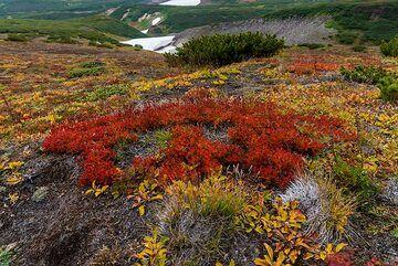 Patch of intense red plants near the Mutnovsky hut. (Photo: Tom Pfeiffer)