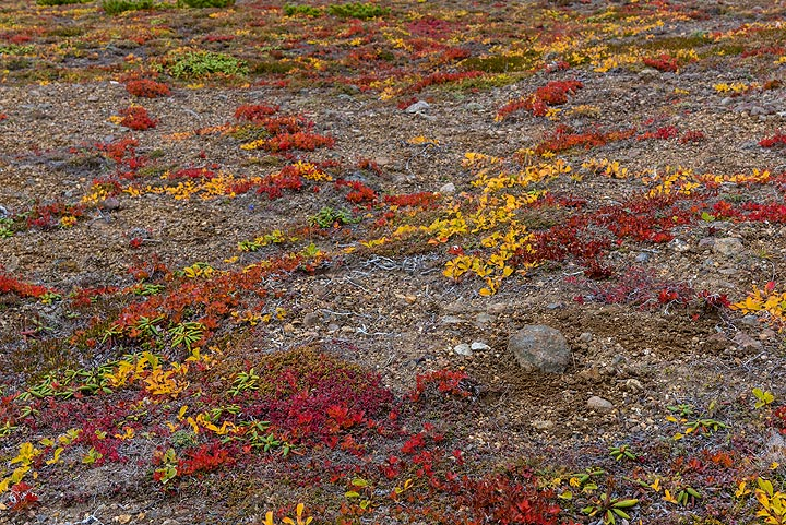 Red and yellow tundra plants (Photo: Tom Pfeiffer)