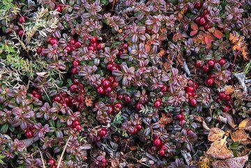 Red berries (Photo: Tom Pfeiffer)
