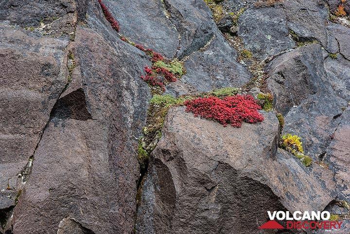 Vegetation holding to cracks in lava cliffs (Photo: Tom Pfeiffer)