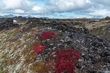 Red tundra plants on the lava flow (Photo: Tom Pfeiffer)