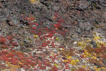 Tundra colors on lava (Photo: Tom Pfeiffer)