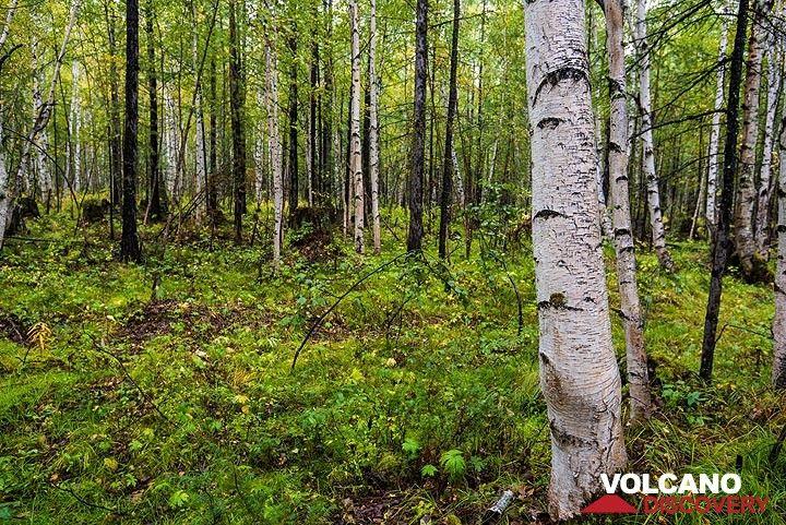 Birch forest (1) (Photo: Tom Pfeiffer)