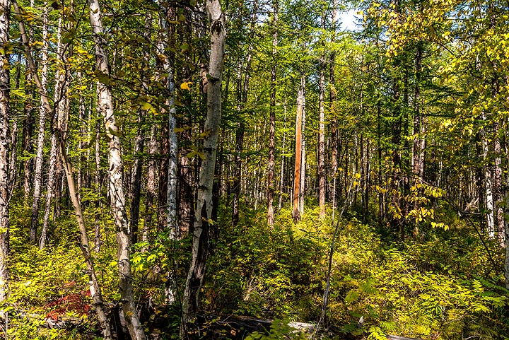 Lower parts of the forest are dominated by birch trees (Photo: Tom Pfeiffer)