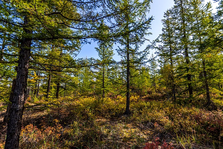 Higher up, larch trees take over. (Photo: Tom Pfeiffer)