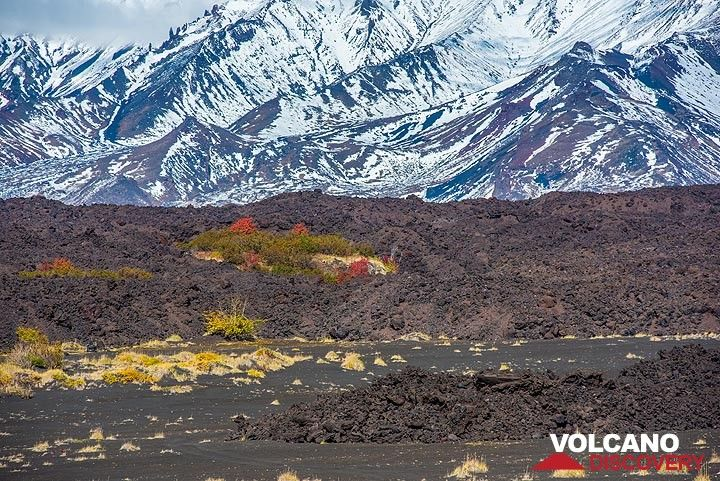 """Small kipuka (patch of old ground spared by the lava flow, literally meaning """"island"""" in Hawaiian language) on the western lava flow field of the 2012-13 eruption. (Photo: Tom Pfeiffer)"""