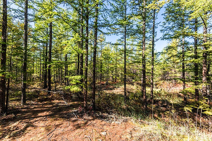 Larch forest (Photo: Tom Pfeiffer)