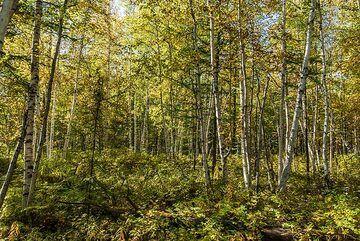 Birch forest (Photo: Tom Pfeiffer)