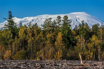 Ushkovsky volcano behind trees (Photo: Tom Pfeiffer)