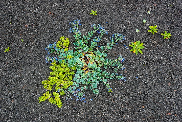Plants on the gray lapilli soil (Photo: Tom Pfeiffer)