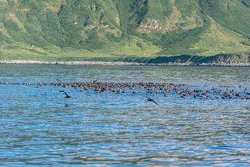 Sea bird colony near the shore of Kharimkotan. (Photo: Tom Pfeiffer)