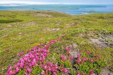 Summer tundra with purple flowers (Photo: Tom Pfeiffer)