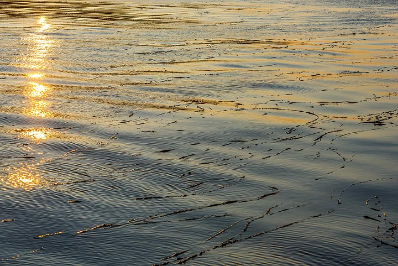 Floating laminaria. (Photo: Tom Pfeiffer)