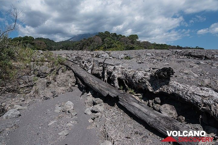 Large, partially burnt or charred tree trunks abound in the deposit, witness of the destructive power of the flow. (Photo: Tom Pfeiffer)