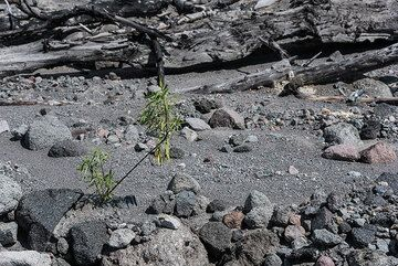 First plants manage to grow on the deposit after more than a year. (Photo: Tom Pfeiffer)
