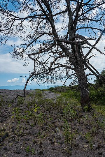 The death of the tree became source of life in turn: its needles and hundreds of pine cones fell on the surface of the ash, providing the small extra layer of nutrients and protection to speed up re-growth of new vegetation considerably in this place, compared to the barren surface around. (Photo: Tom Pfeiffer)