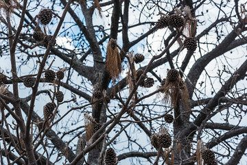 Dried-out pine cones still hang in on the dead branches. (Photo: Tom Pfeiffer)