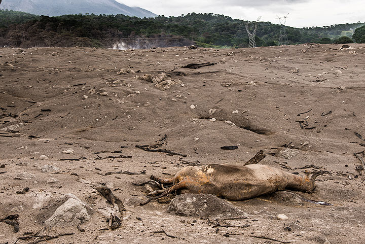 Antonio lost many cows. This one, probably disorientated, had walked onto the hot deposit and sank into it, burning to a cruel death. (Photo: Tom Pfeiffer)