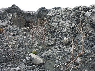 Dead shrubs are scattered between the lava flows and volcanic deposits on the southwest part of Nyiragongo´s summit. Although initially conditions must have been right for them to seed and grow, a change in the volcano´s activity, probably increased degassing, killed plant life in this section. (Photo: Ingrid Smet)