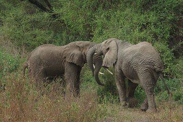 Elephants at Lake Manyara Natl. Park (phtos by P. Benham, tour Jan 08) (Photo: Philip Benham)