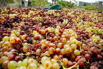 Grapes for Vissanto wine laid out to dry (Photo: Tom Pfeiffer)